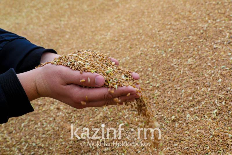 Казахстанские ученые увеличили урожайность пшеницы до 46,5 центнера