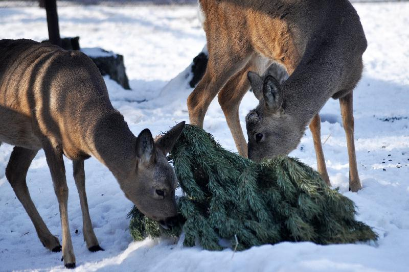 Алматинцев просят сдать ненужные новогодние елки в зоопарк