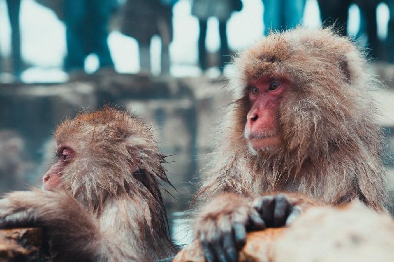 Newsmaking Japanese monkey park ready to make noise again