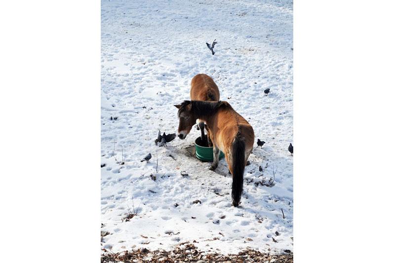 哈萨克斯坦普氏野马数量有效增长