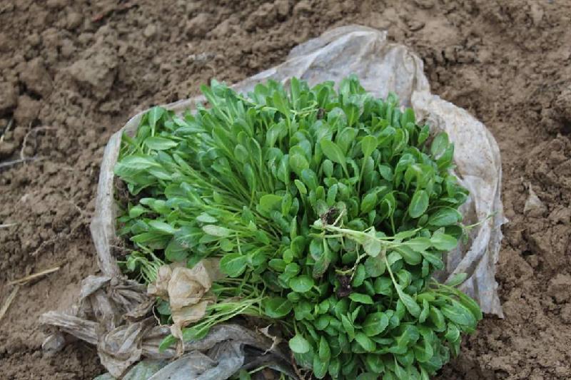 На 500 га высадили овощные культуры в Жетысайском районе Туркестанской области