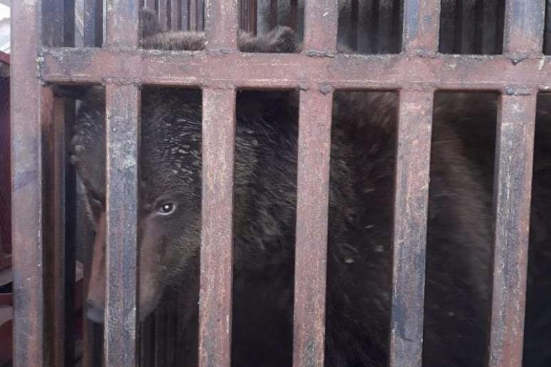 Дикого медведя держали на скотном базаре в Туркестанской области