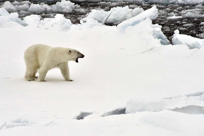 Режим ЧС из-за нашествия белых медведей продолжается на Новой Земле