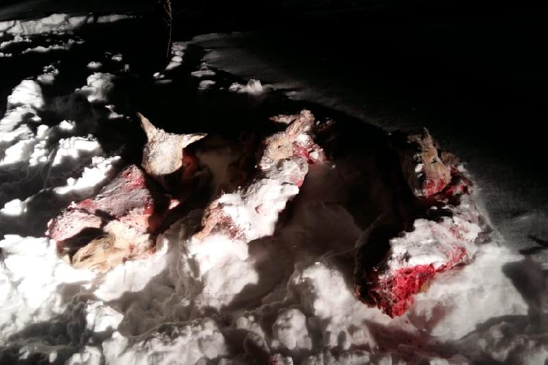 Три косули подстрелил браконьер в природном заказнике Северного Казахстана
