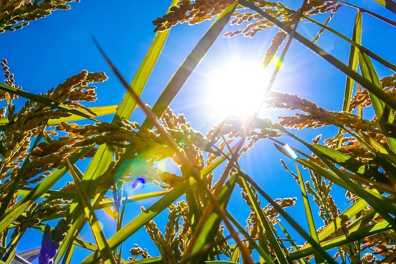Кызылординский рис начнут  экспортировать в Иран