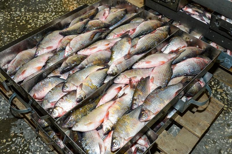 Более 8 тысяч тонн рыбы наловили в Кызылординской области в 2018 году