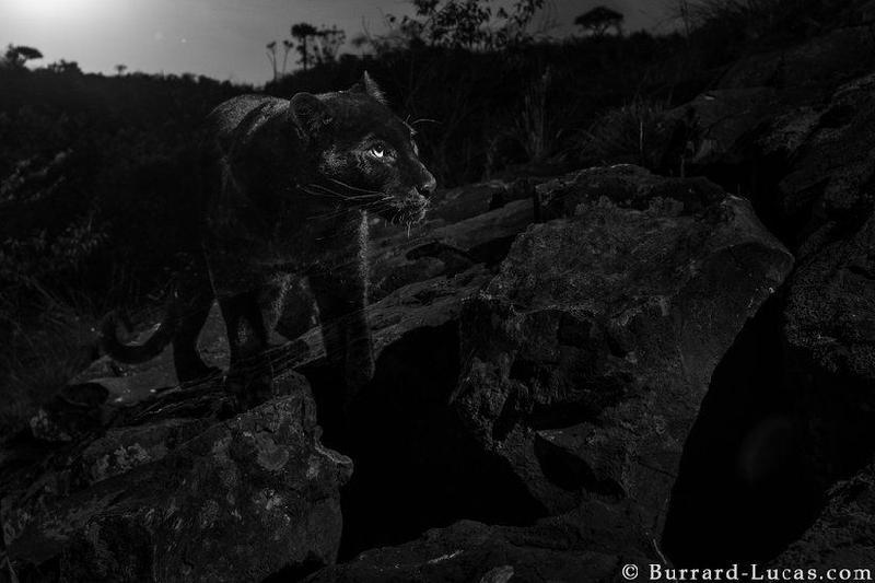 Қара қабылан 100 жылда алғаш рет фототұзаққа түсті