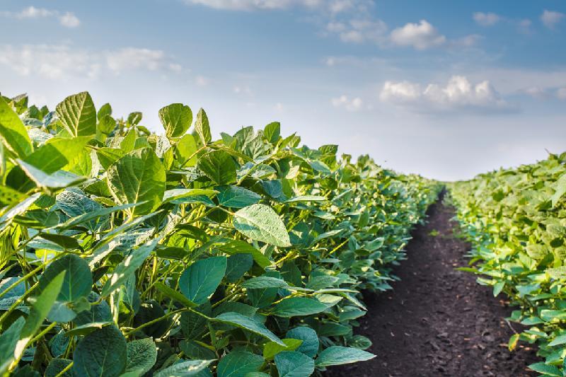 В 15 раз планируют увеличить посевы сои в СКО