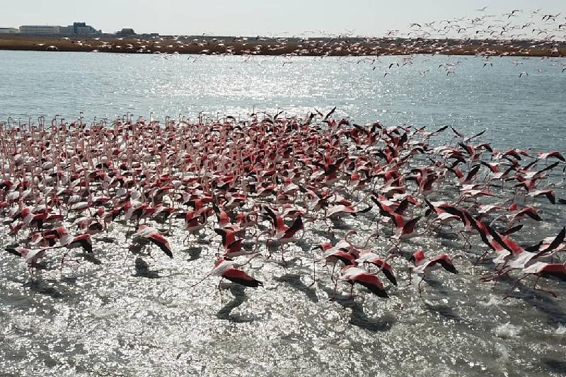 阿克套居民用无人机拍下了聚集火烈鸟群
