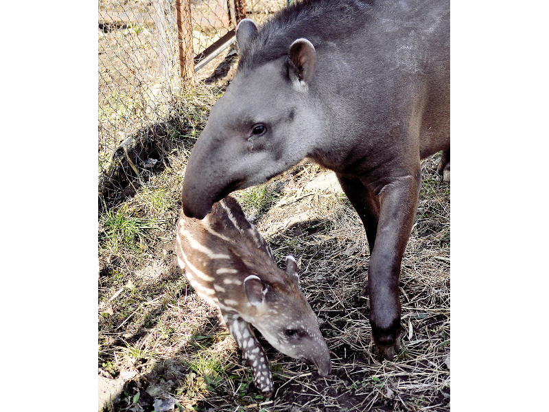 Впервые за 30 лет в Алматинском зоопарке на свет появился тапиренок