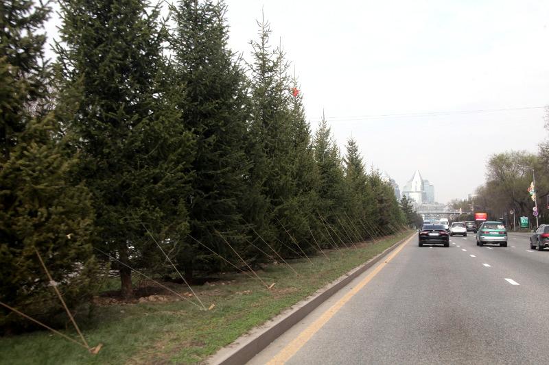 Более шесть тысяч деревьев будут высажены в эти выходные в Алматы