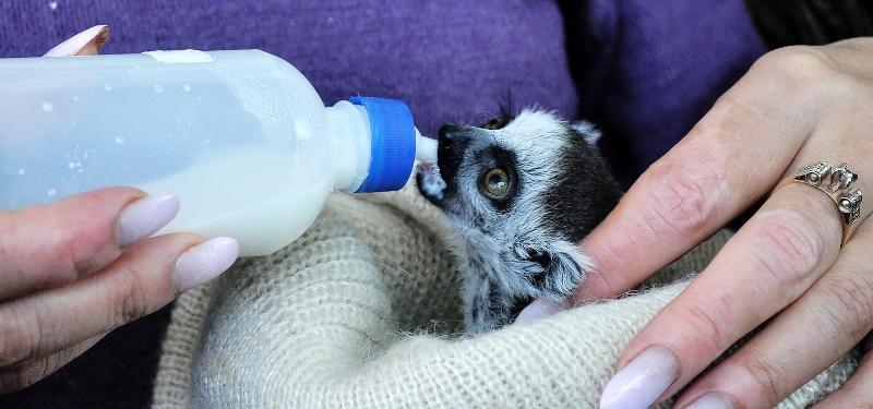 Три детеныша родились впервые у лемуров в Алматинском зоопарке
