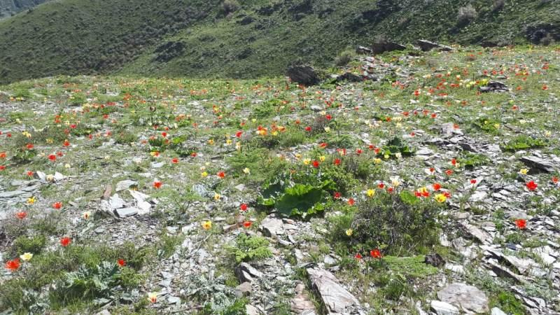 Краснокнижные тюльпаны пышно зацвели в Жамбылской области