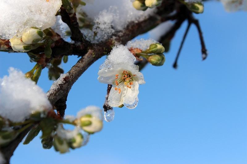 Снег укрыл цветущие плодовые деревья в Атырау