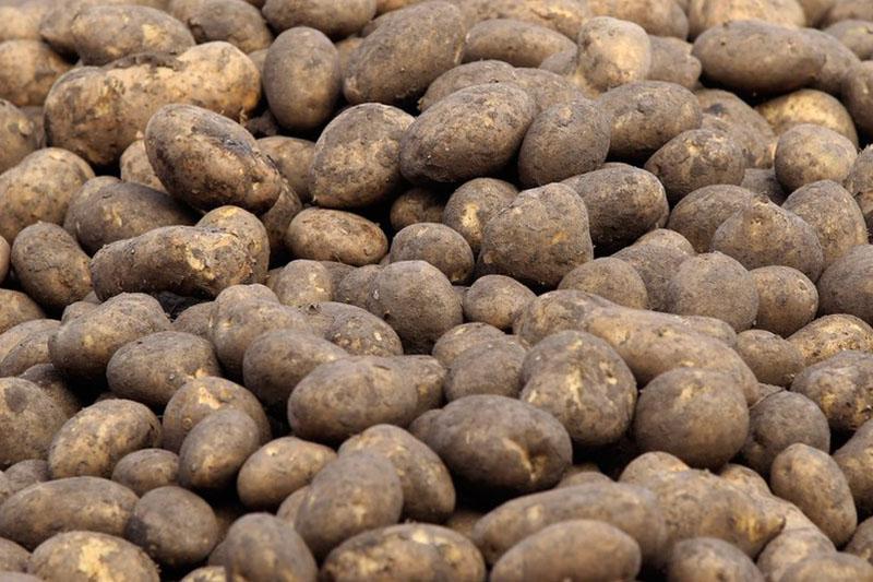 Четыре человека погибли из-за картофеля в Акмолинской области