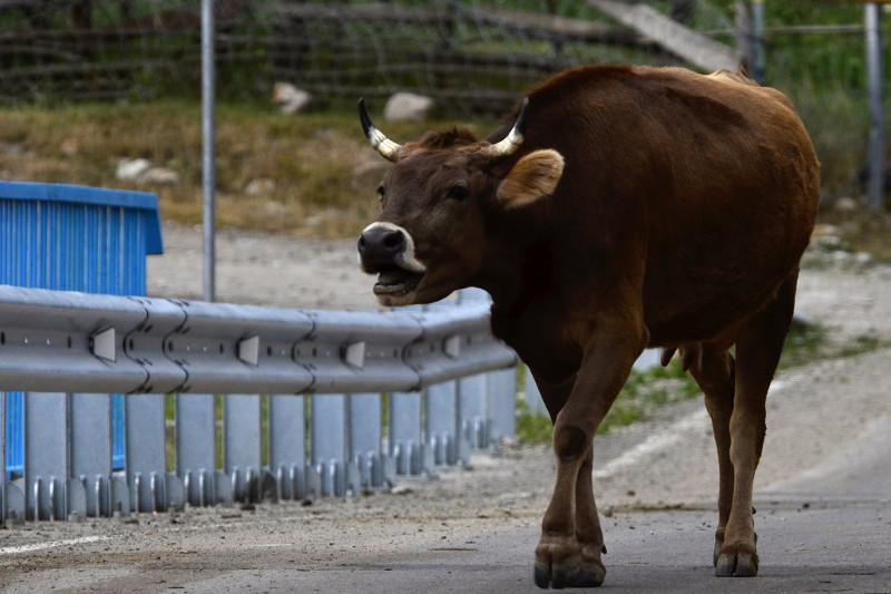 Корова напала на женщину в Алматинской области