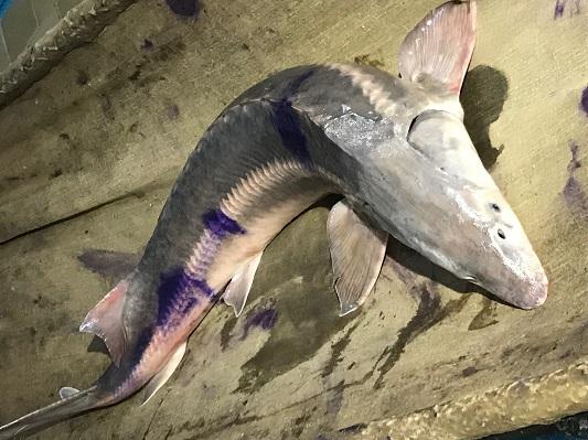 Редкую рыбу семейства осетровых выловили в Урале