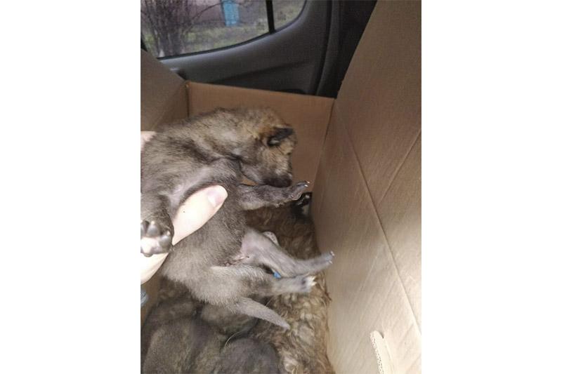 Пятерых волчат спасли сотрудники природоохранной полиции Карагандинской области