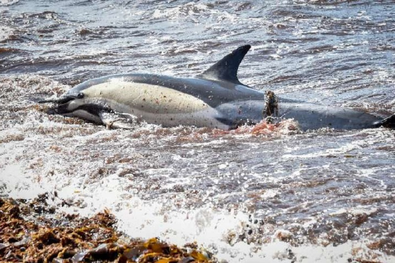 Францияда толқын жүздеген дельфиннің өлексесін жағалауға шығарды