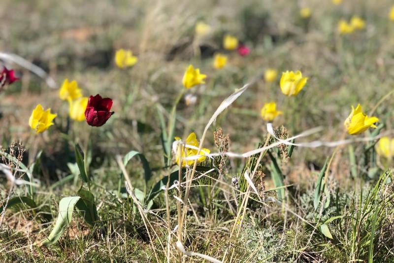 Tulip Festival celebrated in Torgay