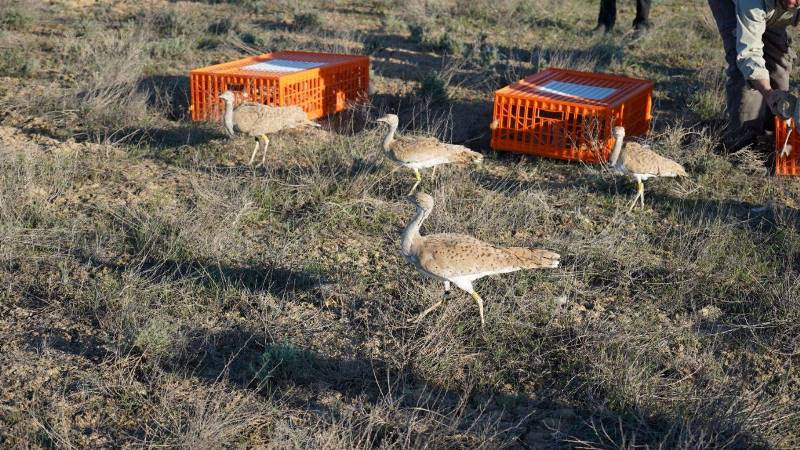 2186 дроф-красоток и 65 соколов выпустили на волю в Казахстане