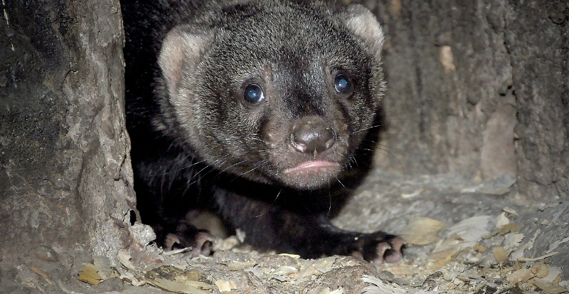 Almaty Zoo welcomes three weasel babies