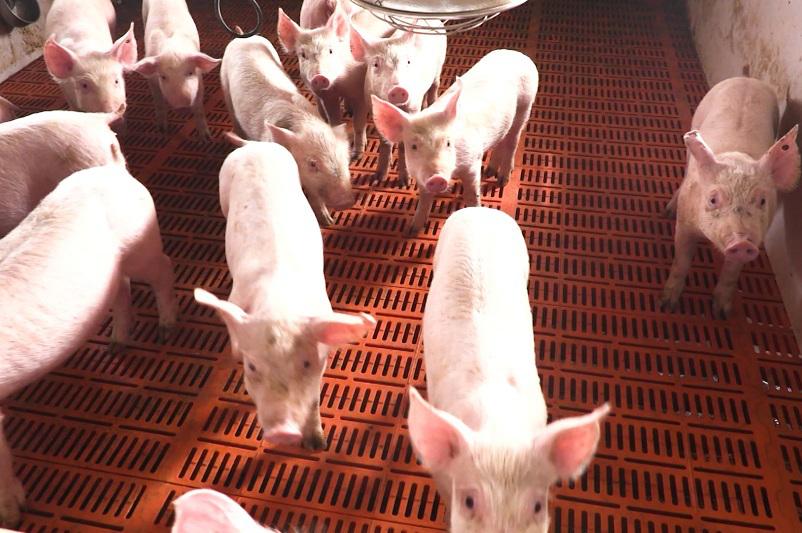 朝鲜首次对内公布非洲猪瘟疫情