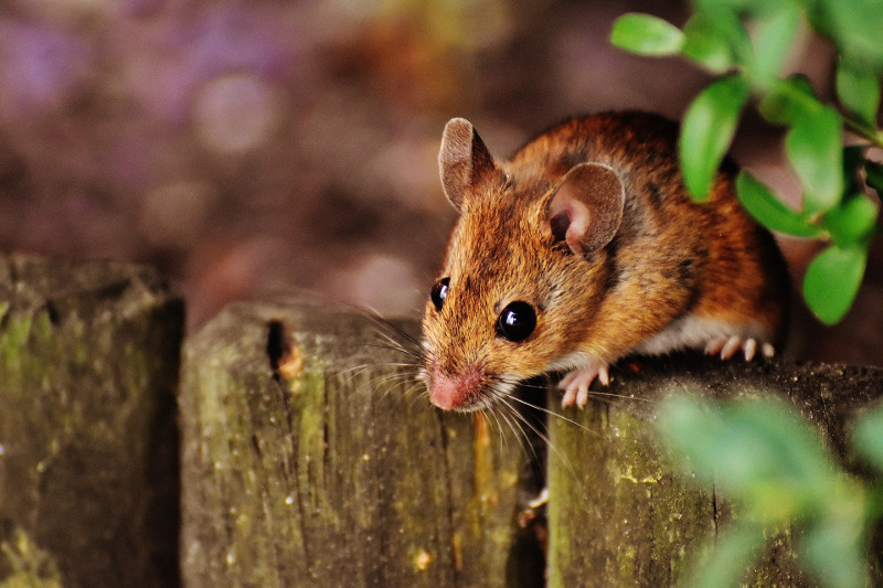 Aging delayed in older mice given blood component from young mice: study