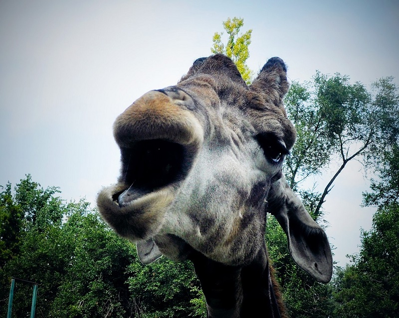 Всемирный день жирафов отмечают в алматинском зоопарке