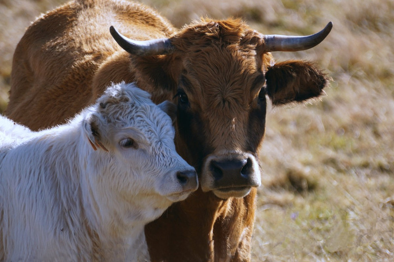 37 голов скота и 150 бесхозных овец взяты под охрану в Арыси
