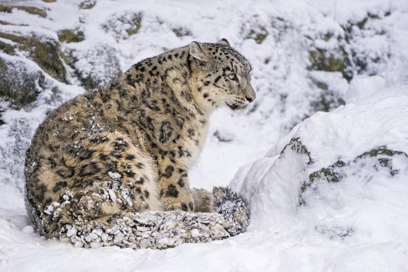 雪豹保护问题国际会议在努尔-苏丹举行
