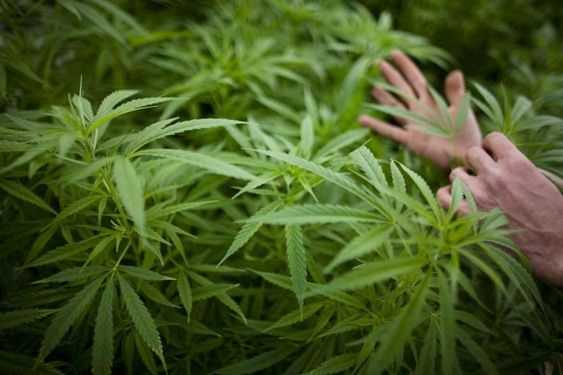 Меркіде ер адам 615 кг жабайы марихуанамен ұсталды