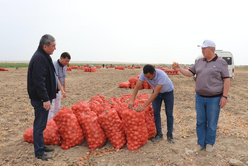 22 тысячи га лука предстоит убрать жамбылским аграриям