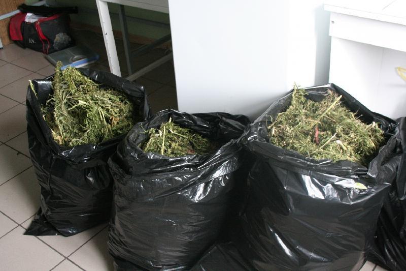 Жамбыл облысында бес күнде 53 келіден астам марихуана тәркіленді