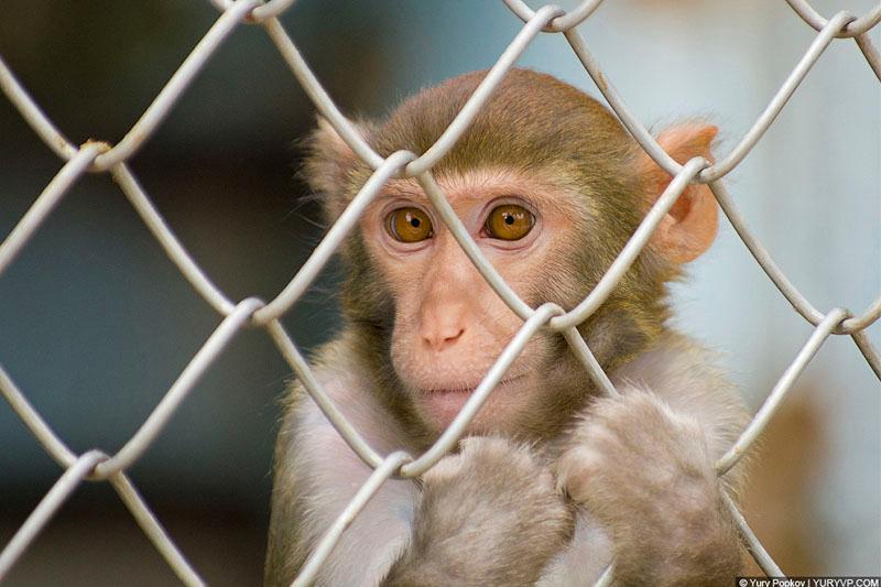 26 обезьян пытался незаконно провести россиянин
