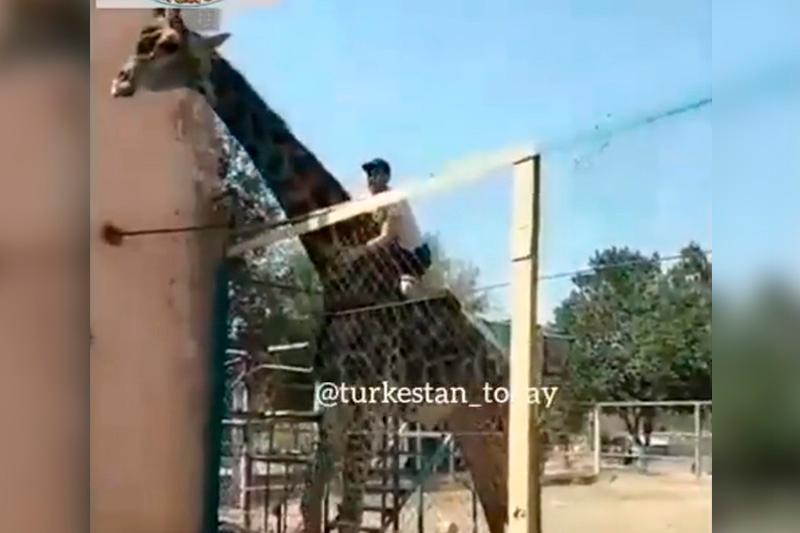 Шымкент зообағында жирафқа мініп алған жігітті полиция іздеп жатыр