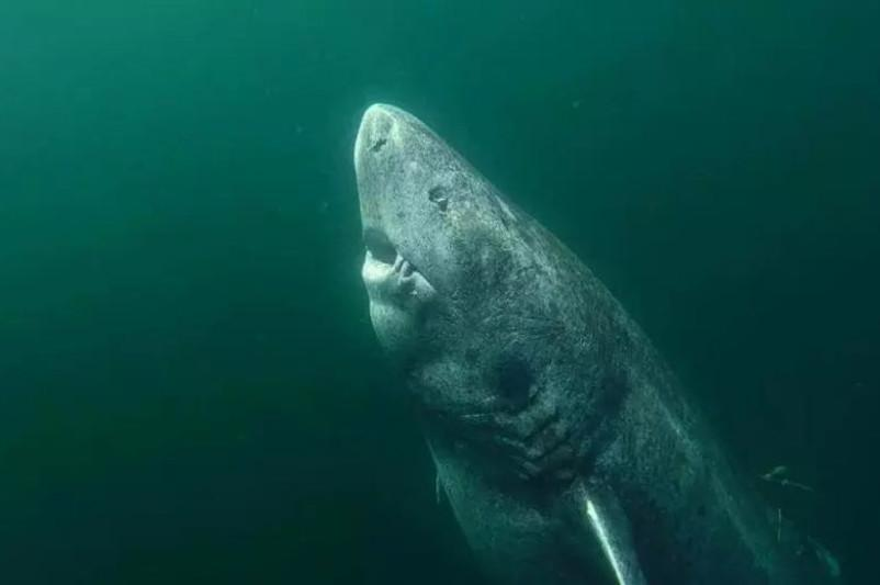 Жасы 500 жылдан асқан тірі акула табылды