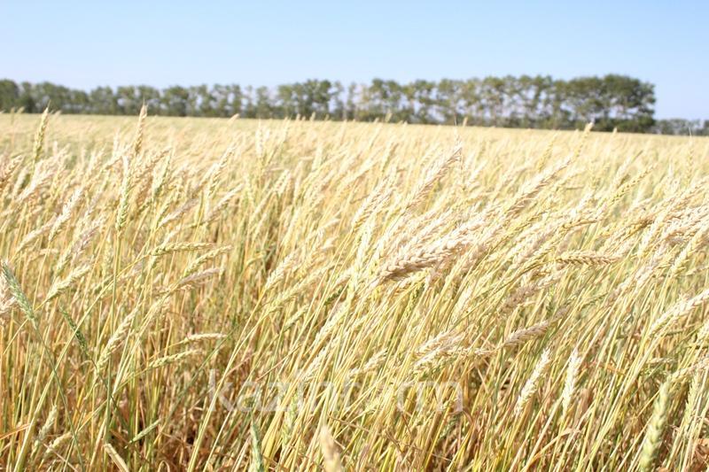 Какой урожай ожидают получить в Северном Казахстане