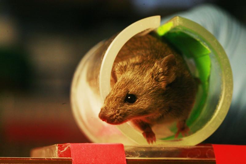 U.S. scientists find how brain cells regulate memories in mice study