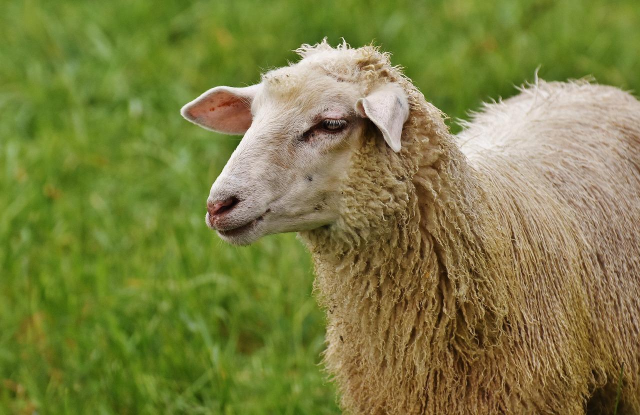 Карантин из-за овечьей оспы сняли в Атырауской области