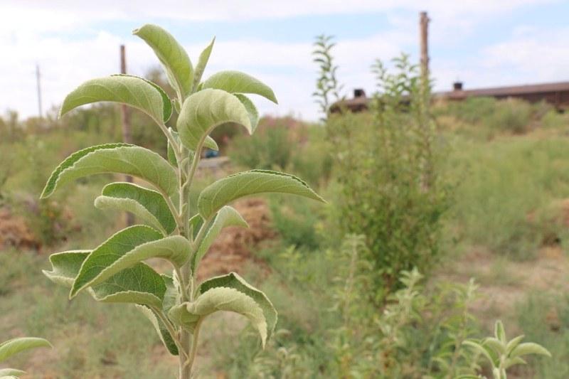 Шиеліде кәсіпкер 10 гектарға 20 мың түп алма ағашын отырғызды