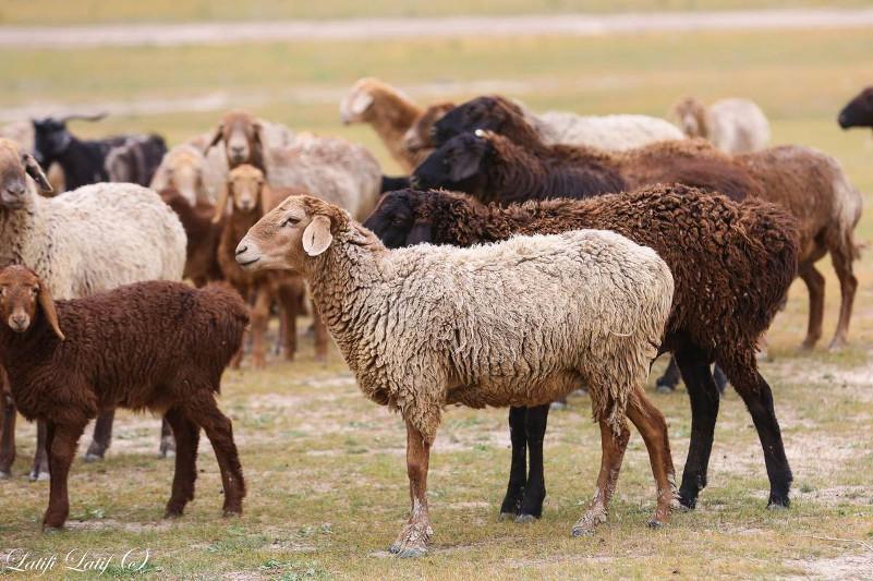 30% казахстанской баранины экспортируется из Жамбылской области