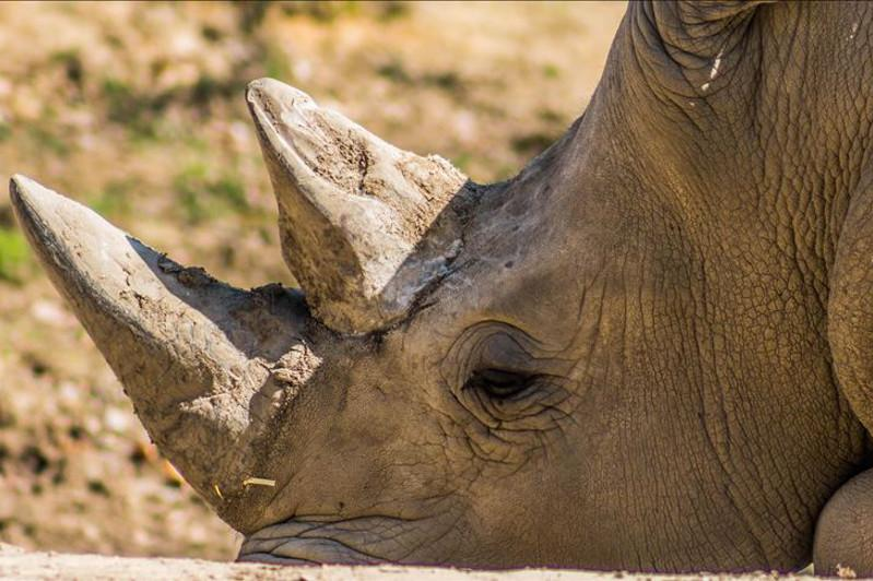 Saving northern white rhinos: Scientists hit milestone