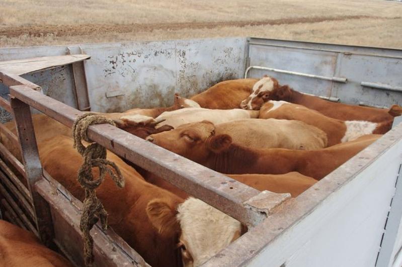 Более 400 человек наказали за незаконную перевозку скота в Туркестанской области