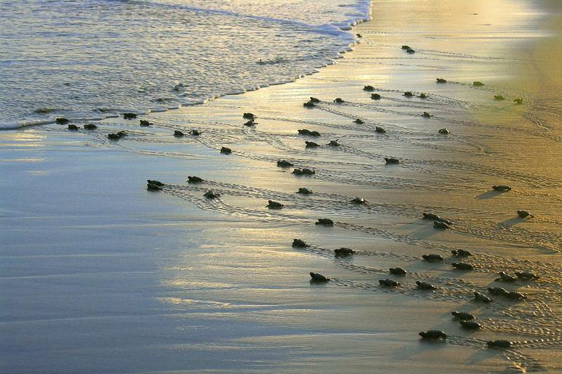 Brazilian initiative protects 40 million sea turtles