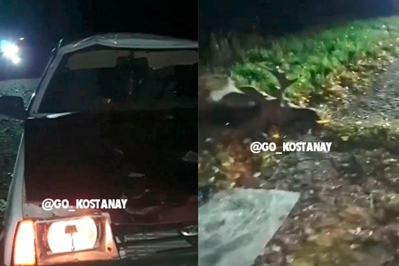 Водитель легковушки столкнулся с лосем в Костанайской области