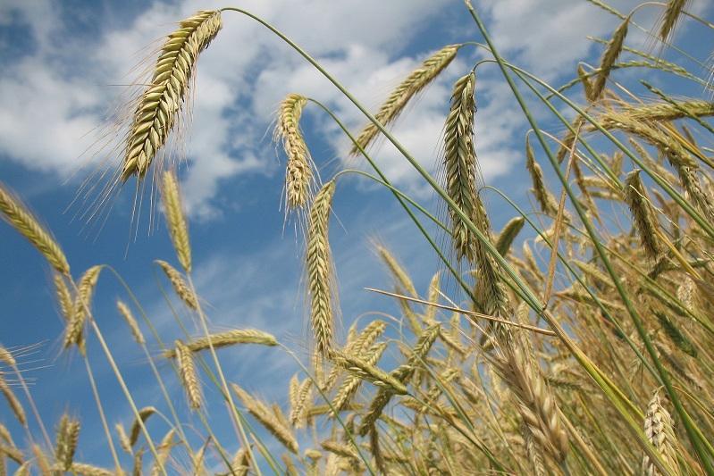 农业部:今年哈萨克斯坦粮食产量预计为1700万吨