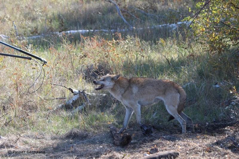 Волчицу пометили GPS-передатчиком в Наурзуме