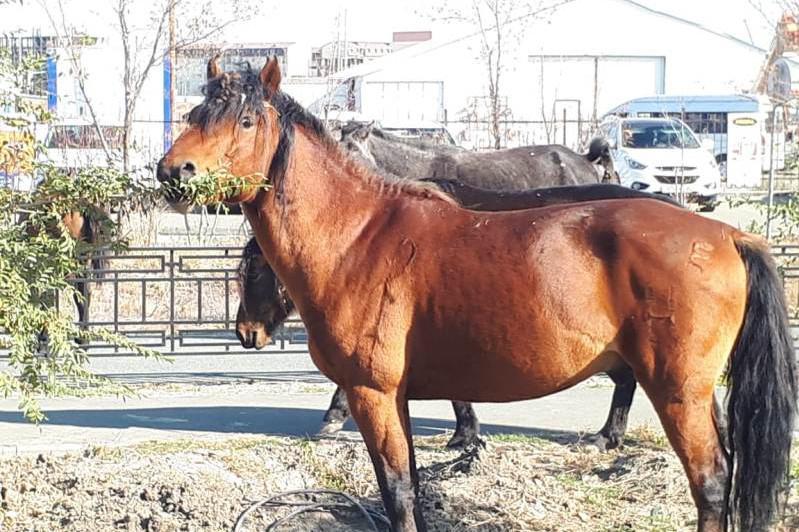 Хозяев бродившего по городу табуна лошадей оштрафовали в Атырау