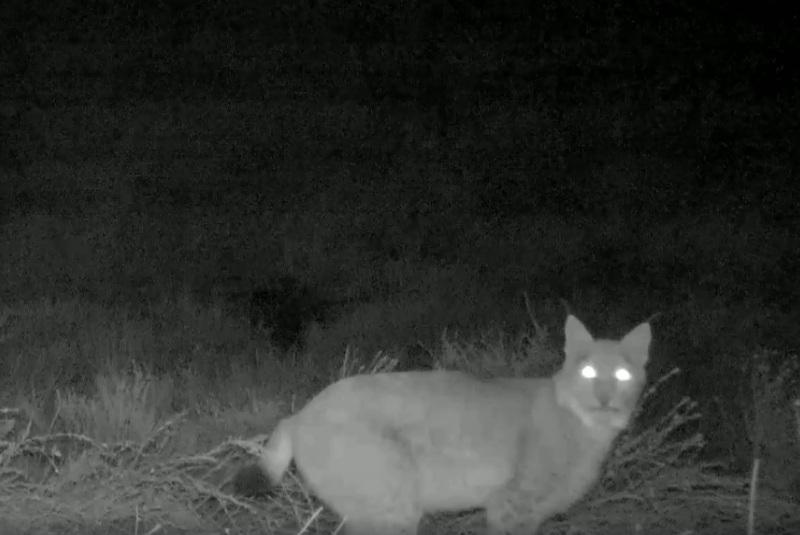 Редкая туркестанская рысь попала в фотоловушку в Чарынском нацпарке